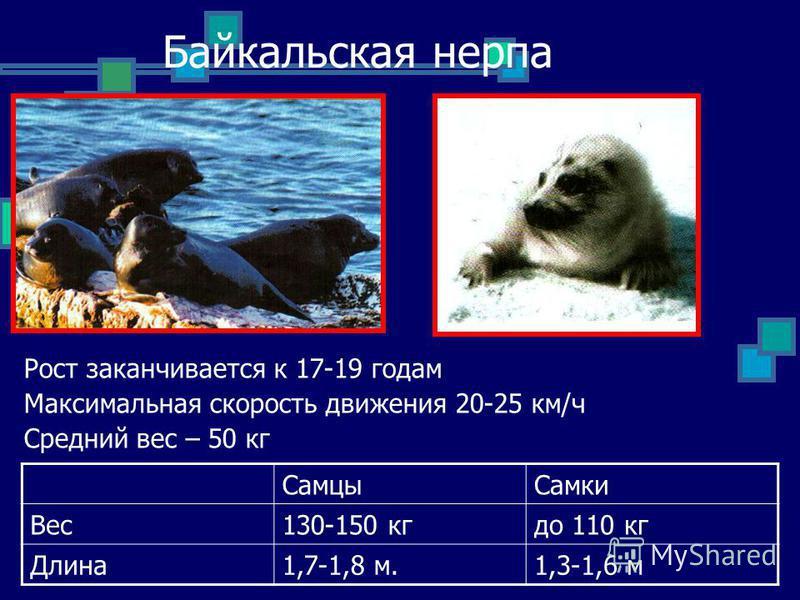 Байкальская нерпа Рост заканчивается к 17-19 годам Максимальная скорость движения 20-25 км/ч Средний вес – 50 кг Самцы Самки Вес 130-150 кг до 110 кг Длина 1,7-1,8 м.1,3-1,6 м