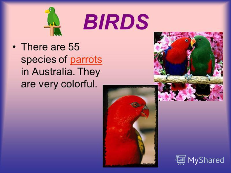 BIRDS There are 55 species of parrots in Australia. They are very colorful.