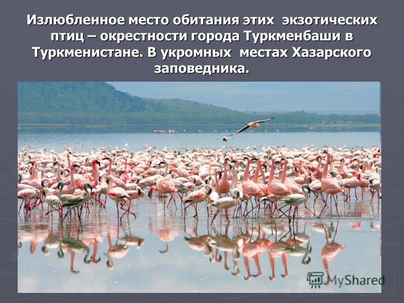 Излюбленное место обитания этих экзотических птиц – окрестности города Туркменбаши в Туркменистане. В укромных местах Хазарского заповедника.