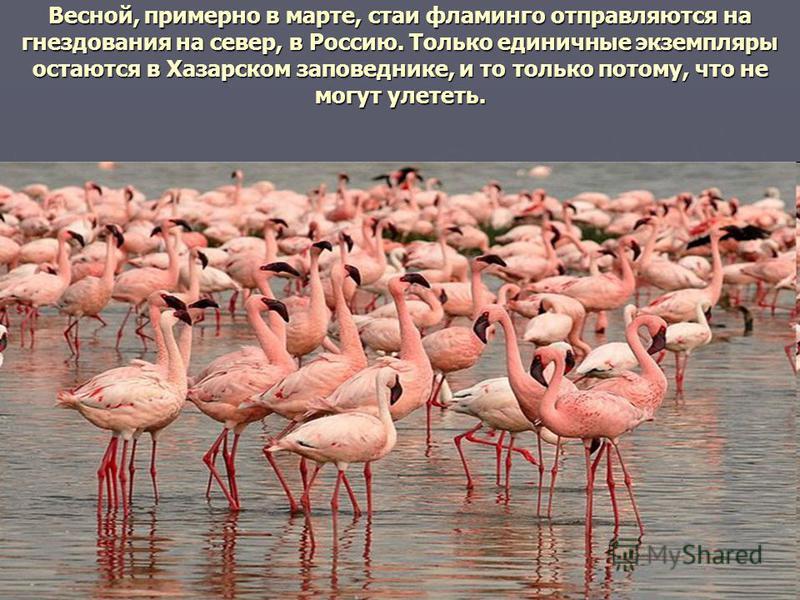 Весной, примерно в марте, стаи фламинго отправляются на гнездования на север, в Россию. Только единичные экземпляры остаются в Хазарском заповеднике, и то только потому, что не могут улететь.