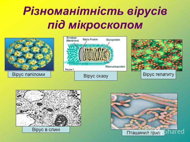 Різноманітність вірусів під мікроскопом Вірус папіломи Вірус сказу Вірус в слині Пташиний грип Вірус гепатиту