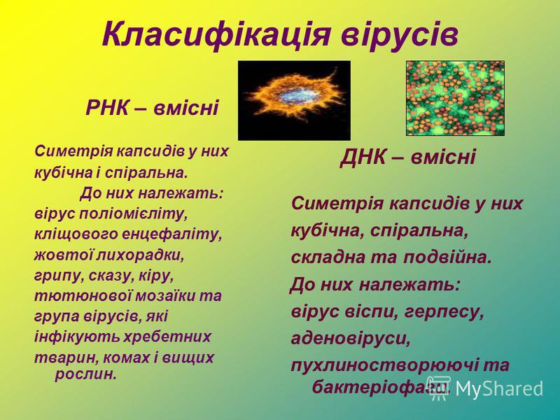 Класифікація вірусів РНК – вмісні Симетрія капсидів у них кубічна і спіральна. До них належать: вірус поліомієліту, кліщового енцефаліту, жовтої лихорадки, грипу, сказу, кіру, тютюнової мозаїки та група вірусів, які інфікують хребетних тварин, комах