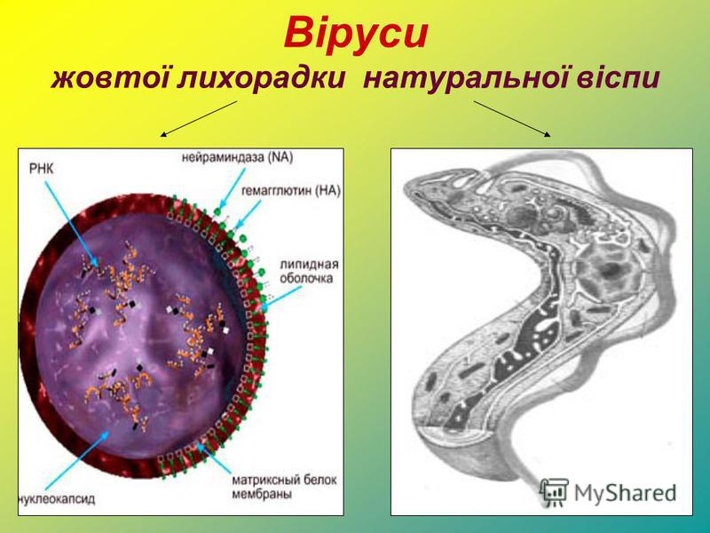 Віруси жовтої лихорадки натуральної віспи