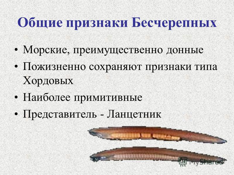 Общие признаки Бесчерепных Морские, преимущественно донные Пожизненно сохраняют признаки типа Хордовых Наиболее примитивные Представитель - Ланцетник