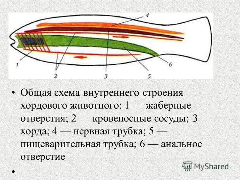 Общая схема внутреннего строения хордового животного: 1 жаберные отверстия; 2 кровеносные сосуды; 3 хорда; 4 нервная трубка; 5 пищеварительная трубка; 6 анальное отверстие