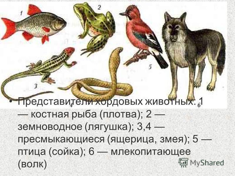 Представители хордовых животных: 1 костная рыба (плотва); 2 земноводное (лягушка); 3,4 пресмыкающиеся (ящерица, змея); 5 птица (сойка); 6 млекопитающее (волк)
