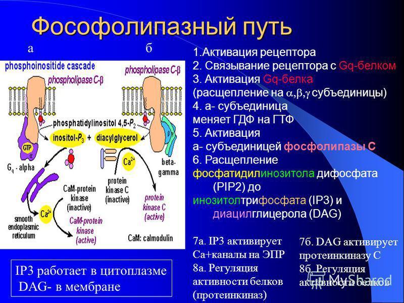 Фософолипазный путь 1. Активация рецептора 2. Связывание рецептора с Gq-белком 3. Активация Gq-белка (расщепление на субъединицы) 4. a- субъединица меняет ГДФ на ГТФ 5. Активация a- субъединицей фосфолипазы С 6. Расщепление фосфатидилинозитола дифосф