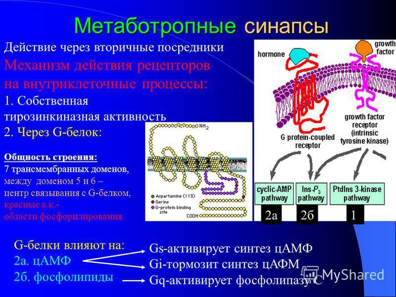 Метаботропные синапсы G-белки влияют на: 2 а. ц-АМФ 2 б. фосфолипиды Механизм действия рецепторов на внутриклеточные процессы: 1. Собственная тирозинкиназная активность 2. Через G-белок: 2 а 2 б 1 Gs-активирует синтез ц-АМФ Gi-тормозит синтез цАФМ Gq