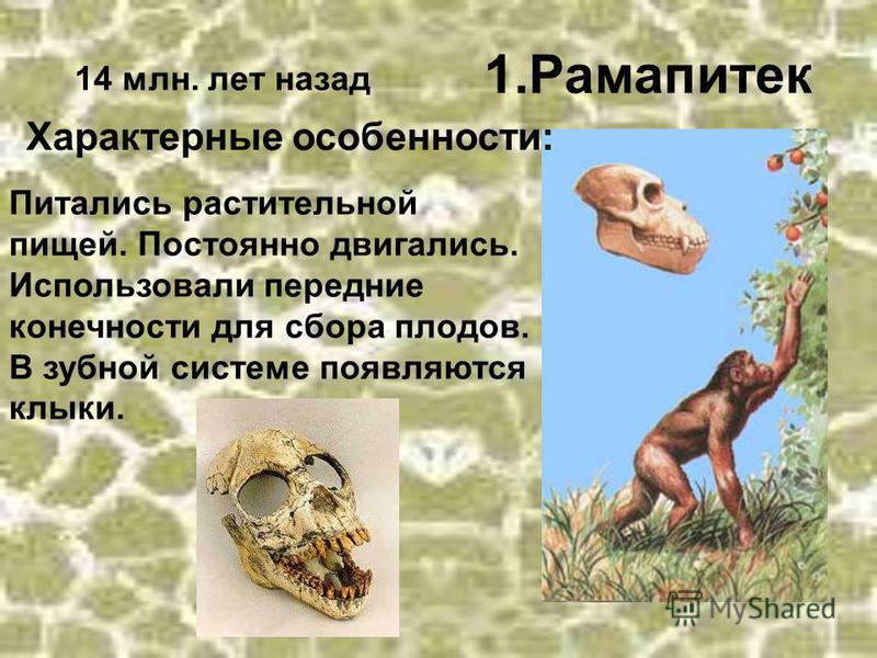 1. Рамапитек 14 млн. лет назад Характерные особенности: Питались растительной пищей. Постоянно двигались. Использовали передние конечности для сбора плодов. В зубной системе появляются клыки.
