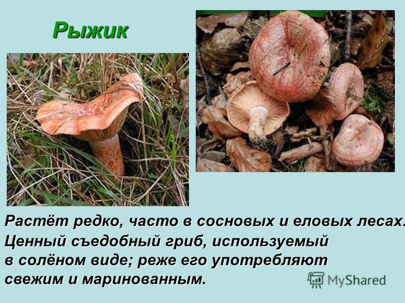 Рыжик Рыжик Растёт редко, часто в сосновых и еловых лесах. Ценный съедобный гриб, используемый в солёном виде; реже его употребляют свежим и маринованным.
