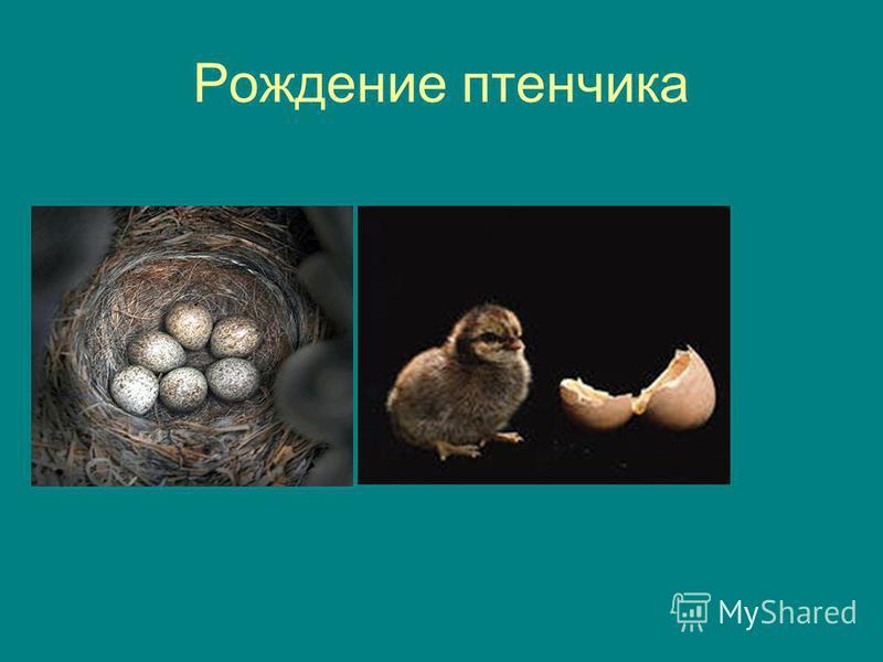 Рождение птенчика
