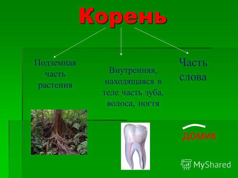 Корень Корень Подземная часть растения Внутренняя, находящаяся в теле часть зуба, волоса, ногтя Часть слова домик