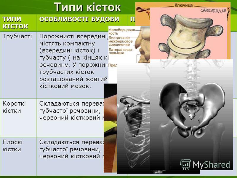 Типи кісток ТИПИ КІСТОК ОСОБЛИВОСТІ БУДОВИ ПРИКЛАДИ Трубчасті Порожнисті всередині, містять компактну (всередині кісток) і губчасту ( на кінцях кісток) речовину. У порожнині трубчастих кісток розташований жовтий кістковий мозок. Плечова, променева, с