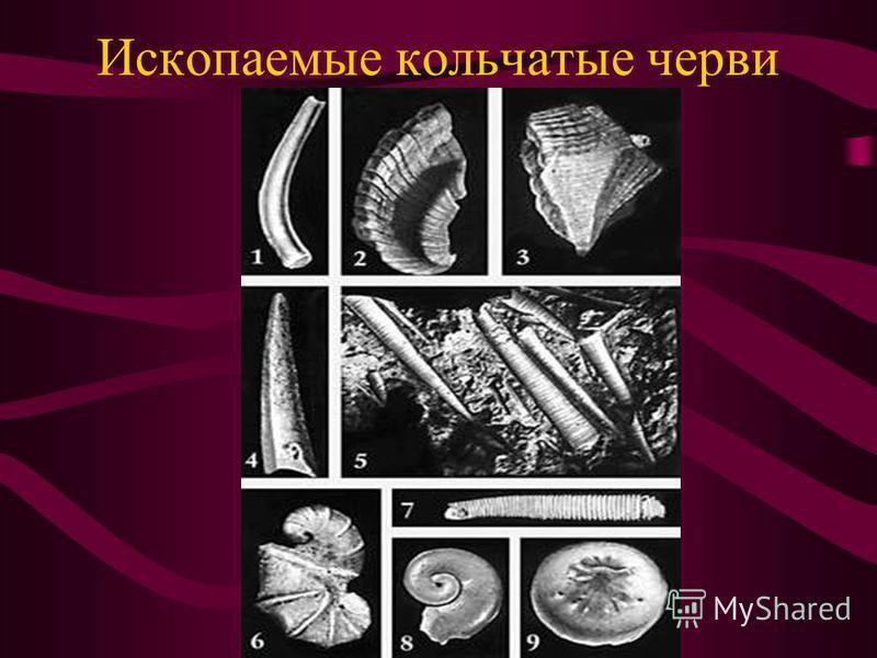 Ископаемые кольчатые черви