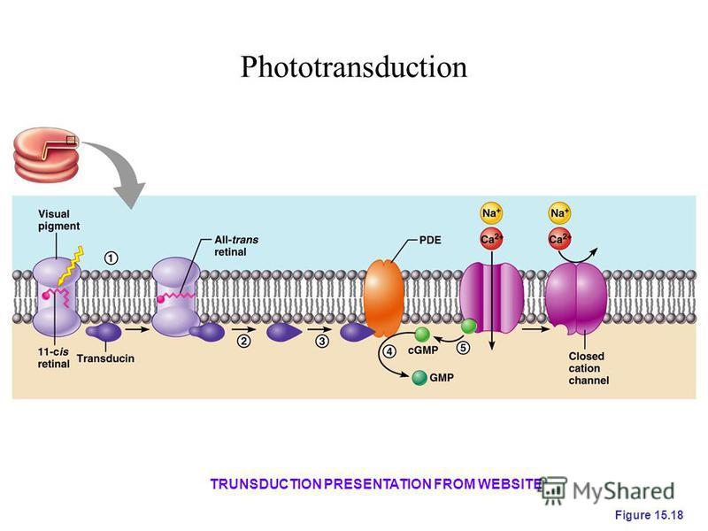 Phototransduction Figure 15.18 TRUNSDUCTION PRESENTATION FROM WEBSITE