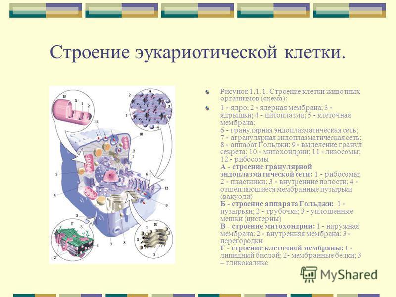 Строение эукариотической клетки. Рисунок 1.1.1. Строение клетки животных организмов (схема): 1 - ядро; 2 - ядерная мембрана; 3 - ядрышки; 4 - цитоплазма; 5 - клеточная мембрана; 6 - гранулярная эндоплазматическая сеть; 7 - агранулярная эндоплазматиче