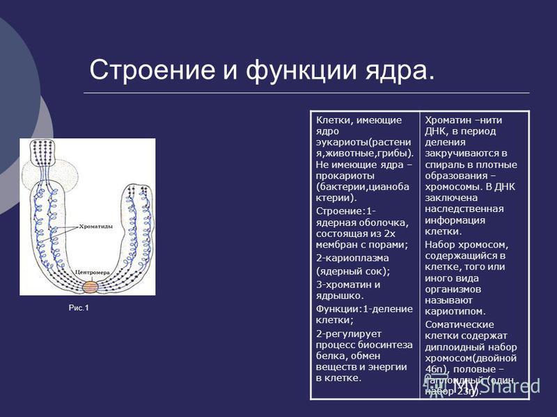 Строение и функции ядра. Клетки, имеющие ядро эукариоты(растения,животные,грибы). Не имеющие ядра – прокариоты (бактерии,цианобактерии). Строение:1- ядерная оболочка, состоящая из 2 х мембран с порами; 2-кариоплазма (ядерный сок); 3-хроматин и ядрышк