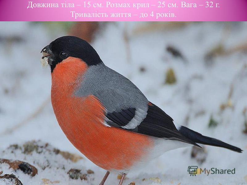 Довжина тіла – 15 cм. Розмах крил – 25 см. Вага – 32 г. Тривалість життя – до 4 років.