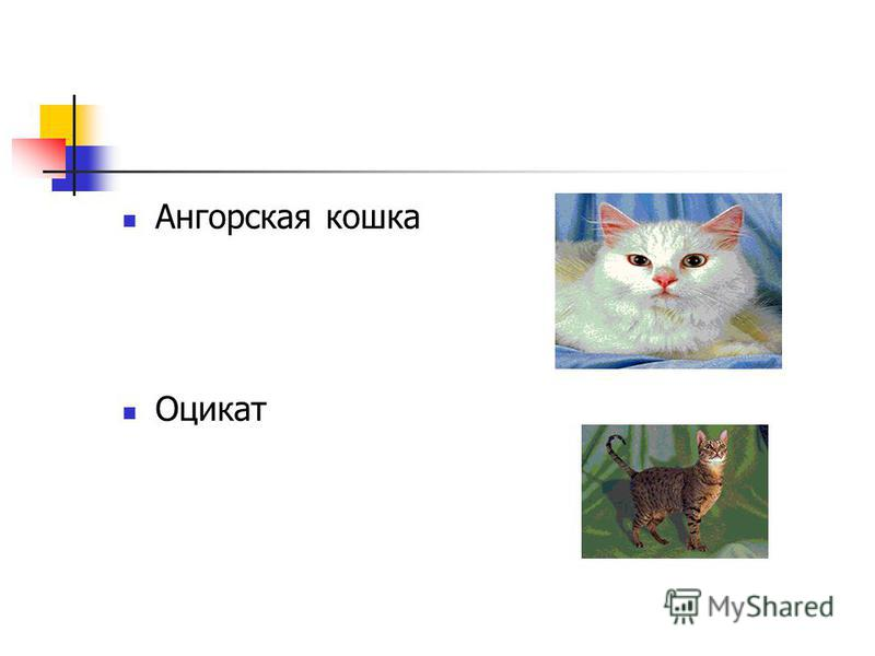 Ангорская кошка Оцикат