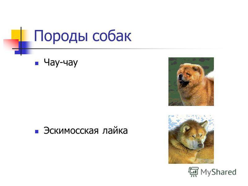 Породы собак Чау-чау Эскимосская лайка