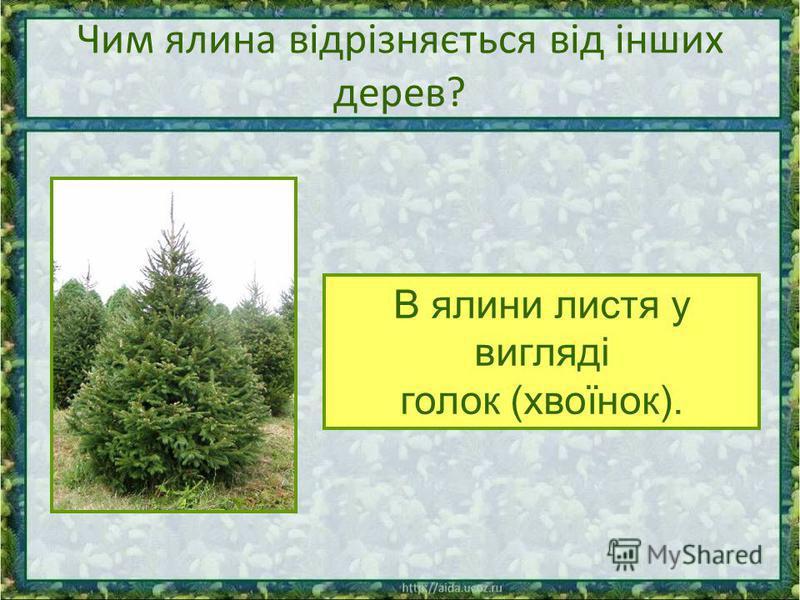 Чим ялина відрізняється від інших дерев? В ялини листя у вигляді голок (хвоїнок).