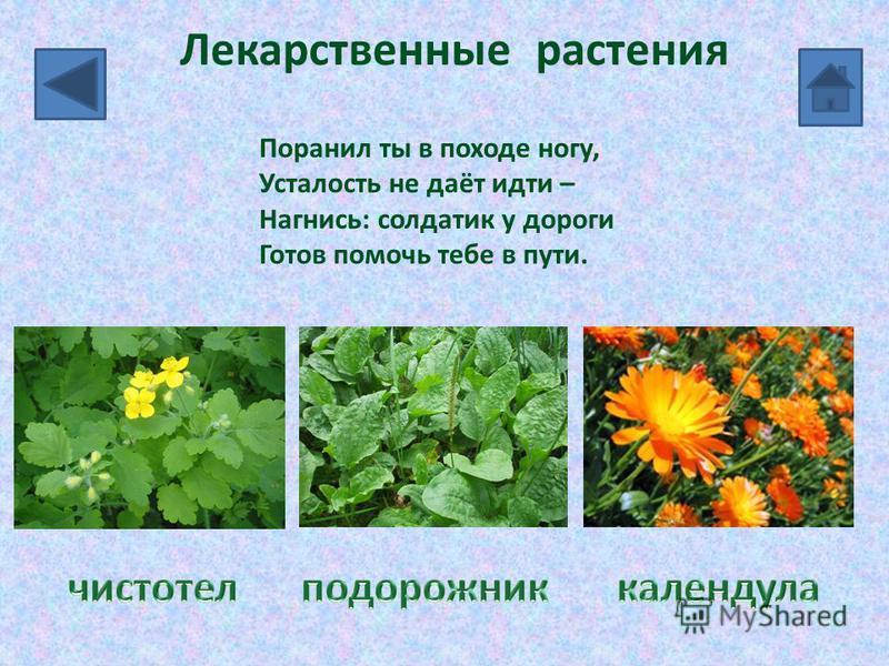 Лекарственные растения Поранил ты в походе ногу, Усталость не даёт идти – Нагнись: солдатик у дороги Готов помочь тебе в пути.