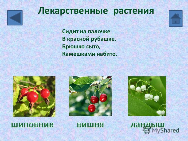 Лекарственные растения Сидит на палочке В красной рубашке, Брюшко сыто, Камешками набито.