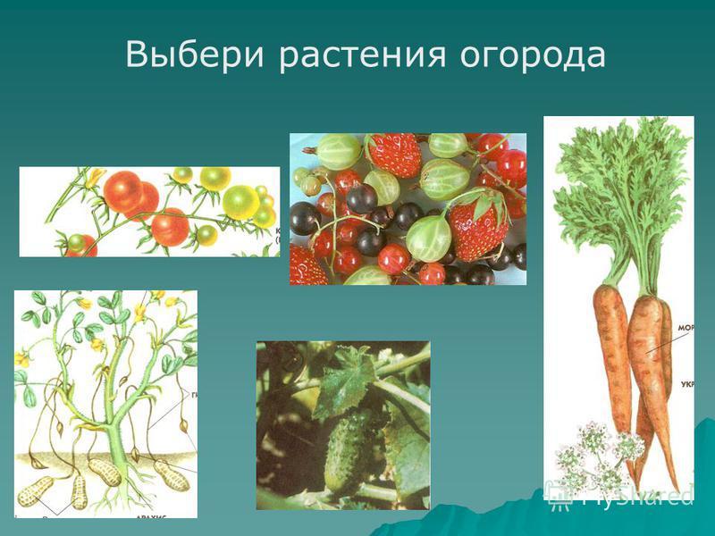 Выбери растения огорода