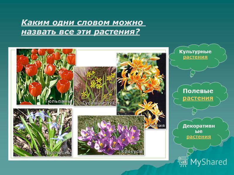 Каким одни словом можно назвать все эти растения? Культурные растения растения Полевые растения растения Декоративн ые растения