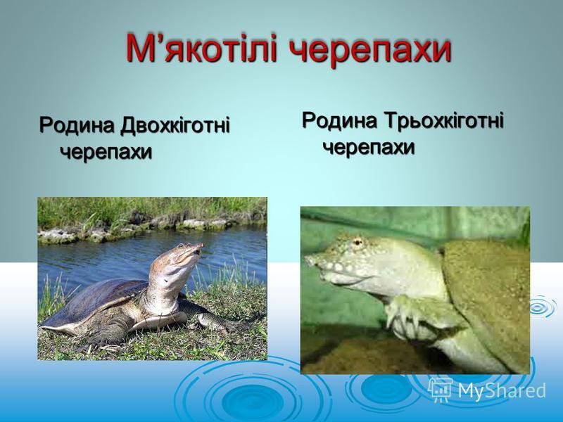 Родина Двохкіготні черепахи Мякотілі черепахи Родина Трьохкіготні черепахи