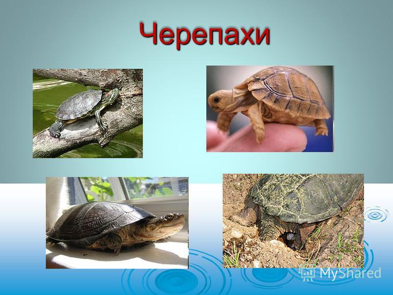 ЧерепахиЧерепахи