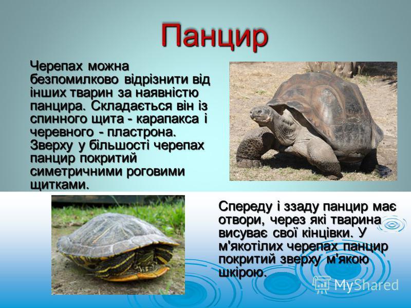 Черепах можна безпомилково відрізнити від інших тварин за наявністю панцира. Складається він із спинного щита - карапакса і черевного - пластрона. Зверху у більшості черепах панцир покритий симетричними роговими щитками. ПанцирПанцир Спереду і ззаду