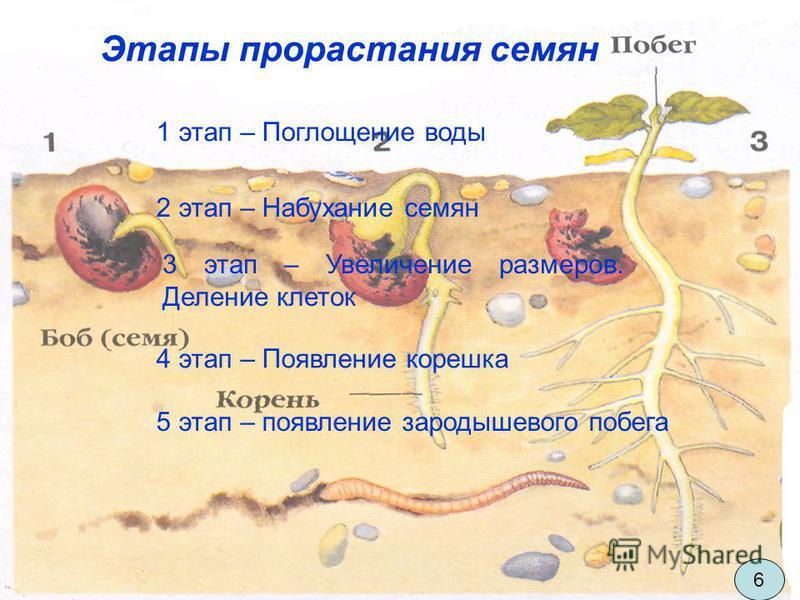 Этапы прорастания семян 1 этап – Поглощение воды 2 этап – Набухание семян 3 этап – Увеличение размеров. Деление клеток 4 этап – Появление корешка 5 этап – появление зародышевого побега 6