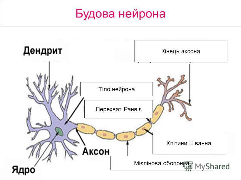 Будова нейрона Кінець аксона Клітини Шванна Мієлінова оболонка Перехват Ранвє Тіло нейрона