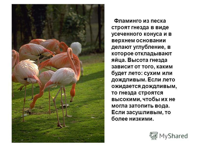Фламинго из песка строят гнезда в виде усеченного конуса и в верхнем основании делают углубление, в которое откладывают яйца. Высота гнезда зависит от того, каким будет лето: сухим или дождливым. Если лето ожидается дождливым, то гнезда строятся высо