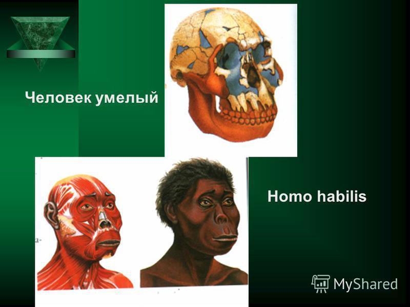 Homo habilis Человек умелый