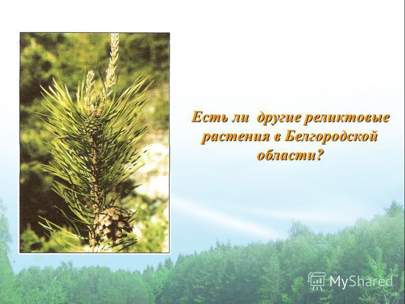 Есть ли другие реликтовые растения в Белгородской области?