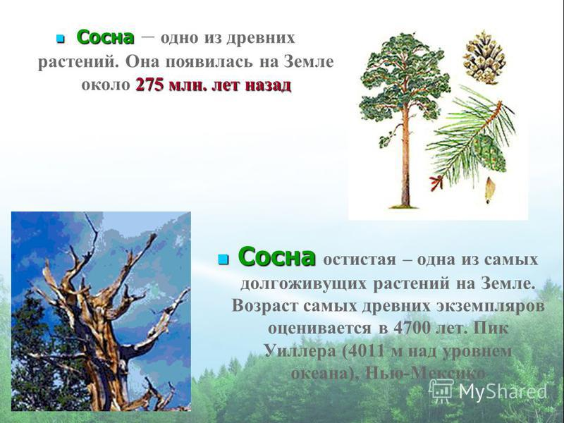 Сосна Сосна остистая – одна из самых долгоживущих растений на Земле. Возраст самых древних экземпляров оценивается в 4700 лет. Пик Уиллера (4011 м над уровнем океана), Нью-Мексико Сосна 275 млн. лет назад Сосна – одно из древних растений. Она появила