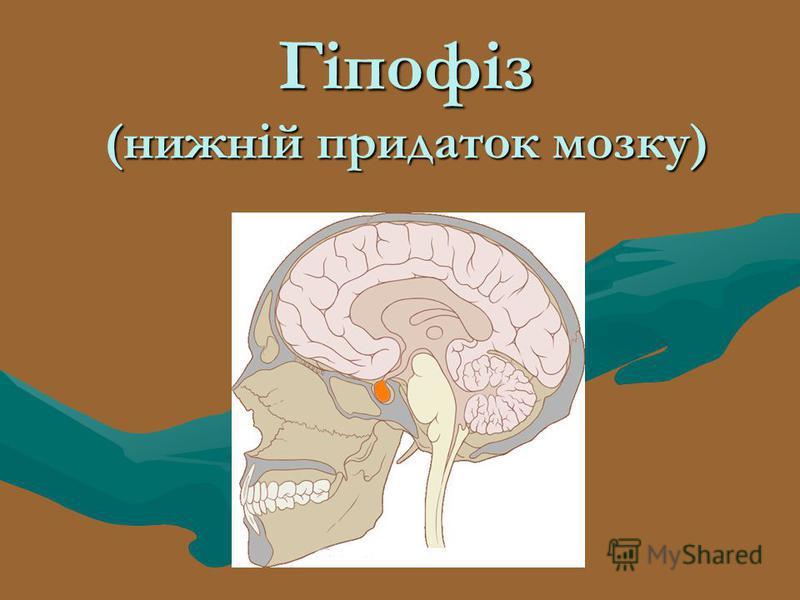 Гіпофіз (нижній придаток мозку)