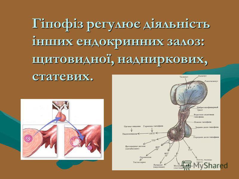 Гіпофіз регулює діяльність інших ендокринних залоз: щитовидної, надниркових, статевих.