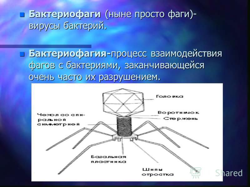 n Бактериофаги (ныне просто фаги)- вирусы бактерий. n Бактериофагия-процесс взаимодействия фагов с бактериями, заканчивающейся очень часто их разрушением.