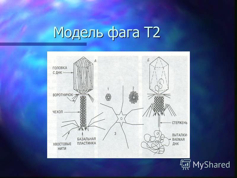 Модель фага Т2