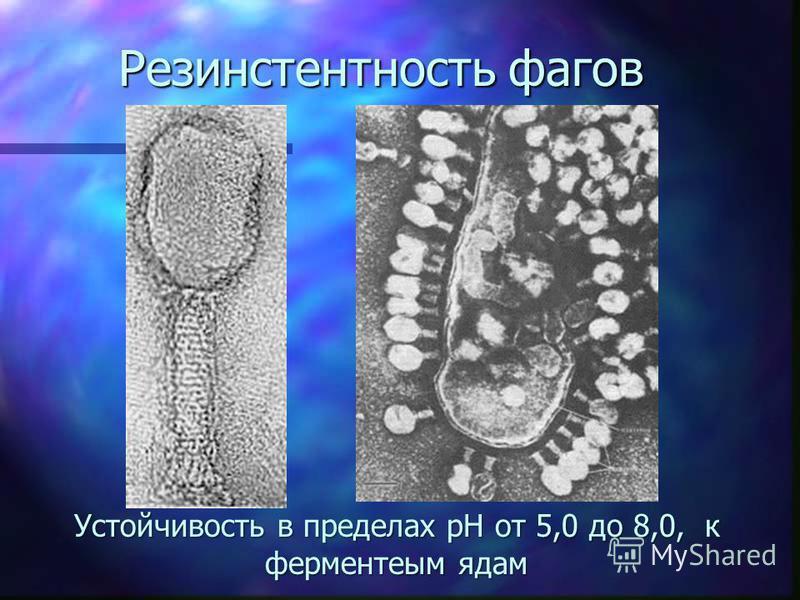 Резинстентность фагов Устойчивость в пределах рН от 5,0 до 8,0, к ферментеым ядам