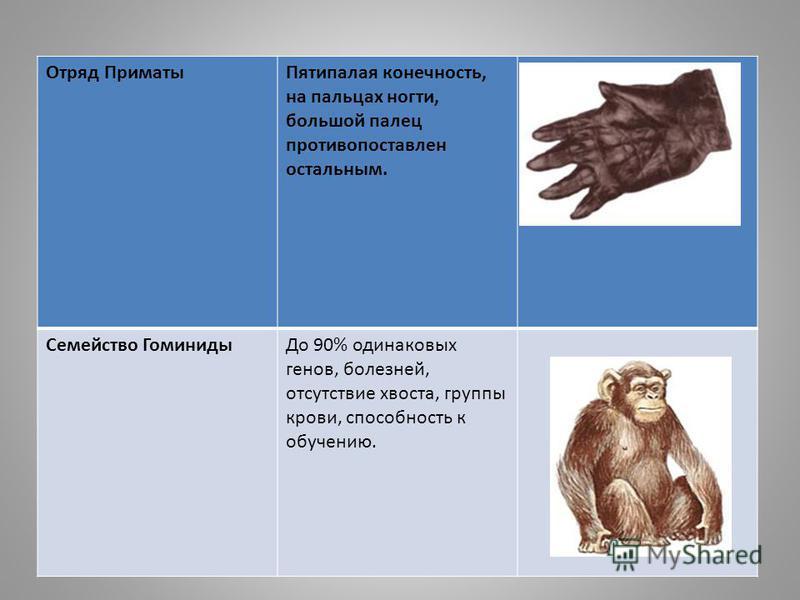 Отряд Приматы Пятипалая конечность, на пальцах ногти, большой палец противопоставлен остальным. Семейство Гоминиды До 90% одинаковых генов, болезней, отсутствие хвоста, группы крови, способность к обучению.