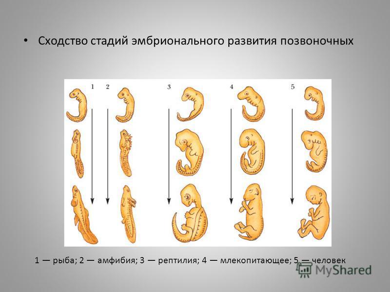 Сходство стадий эмбрионального развития позвоночных 1 рыба; 2 амфибия; 3 рептилия; 4 млекопитающее; 5 человек