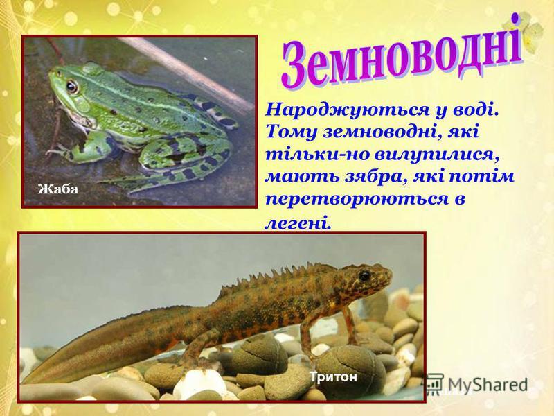Жаба Черепаха Тритон Народжуються у воді. Тому земноводні, які тільки-но вилупилися, мають зябра, які потім перетворюються в легені.