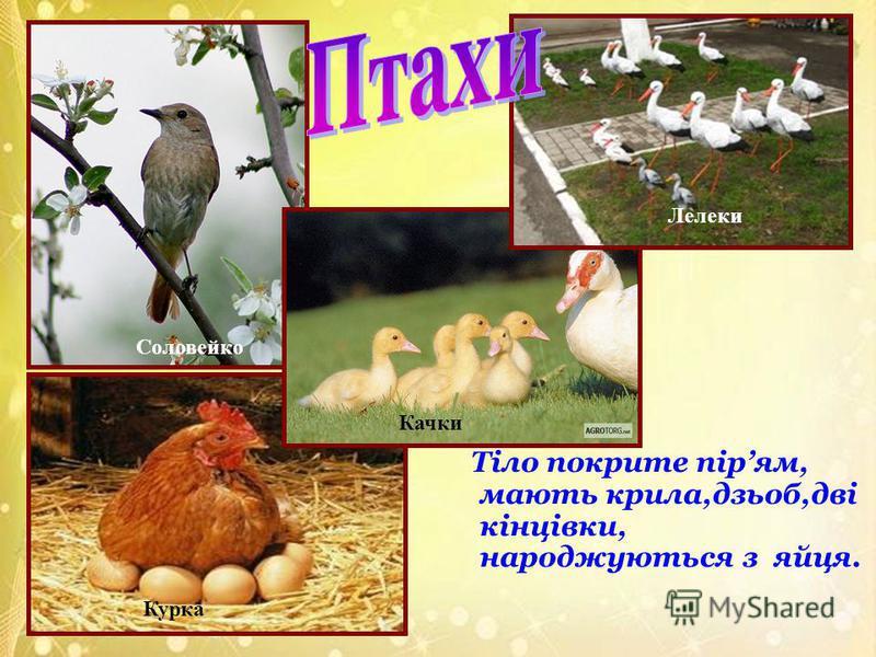 Тіло покрите пірям, мають крила,дзьоб,дві кінцівки, народжуються з яйця. Соловейко Курка Качки Лелеки