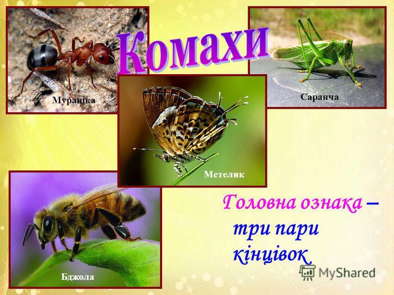 Головна ознака – три пари кінцівок Метелик Бджола Саранча Мурашка