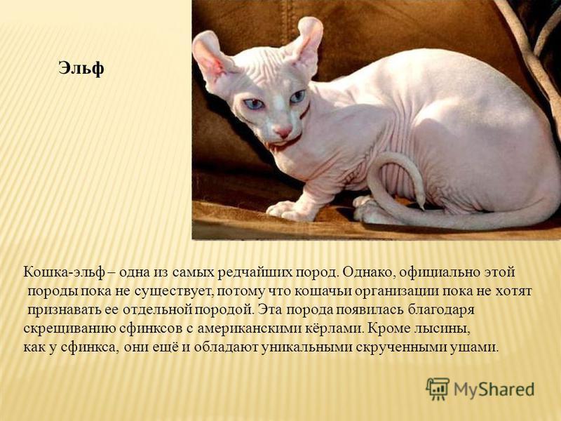 Эльф Кошка-эльф – одна из самых редчайших пород. Однако, официально этой породы пока не существует, потому что кошачьи организации пока не хотят признавать ее отдельной породой. Эта порода появилась благодаря скрещиванию сфинксов с американскими кёрл