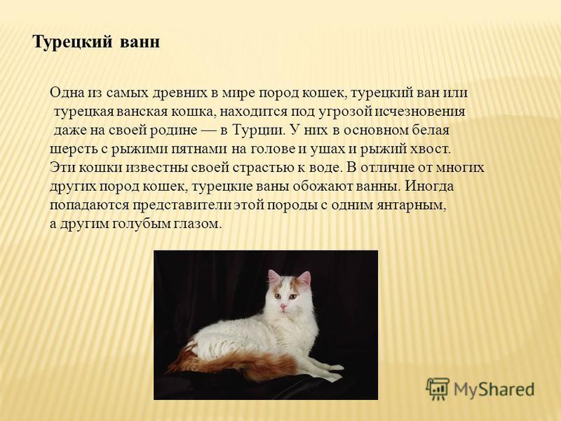 Турецкий ванн Одна из самых древних в мире пород кошек, турецкий ван или турецкая ванская кошка, находится под угрозой исчезновения даже на своей родине в Турции. У них в основном белая шерсть с рыжими пятнами на голове и ушах и рыжий хвост. Эти кошк